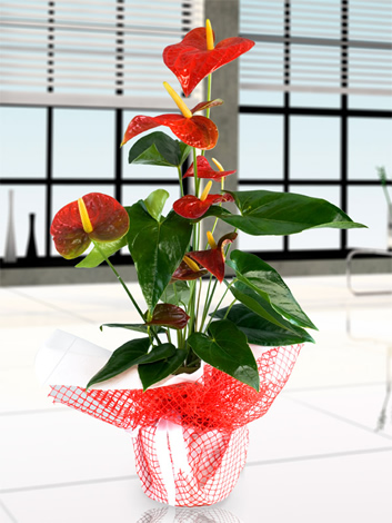 Anthurium flamingo